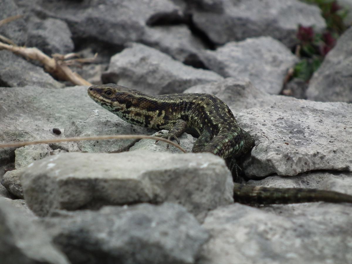 burren-life-Common-Lizard-2012-06-14-0077