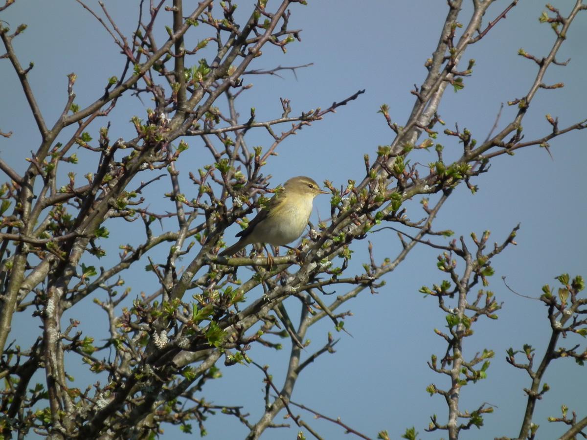 burren-life-Willow-Warbler-0005